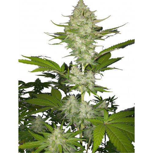 Candy Kush Express Fast Flowering