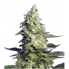 Green Poison XL Auto®